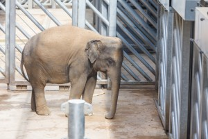 elephant-in-a-cage-1421757333zji